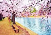 аллергия на пыльцу,япония