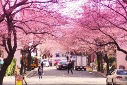 япония в сакуре
