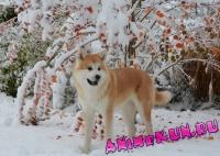 Японская собака. Фотоподборка.